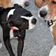 Dog Socialization - Foto de Stock