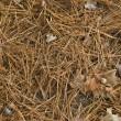 agujas de pino — Foto de Stock