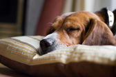 Beagle Dog Sleeping — Stock Photo