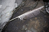Seagull Feather — Stock Photo