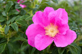 Rugosa Rose — Stock Photo