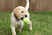 Yellow Lab Puppy Playing with a Tennis Ball — Stock Photo
