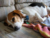 Faul beagle — Stockfoto