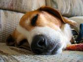 Sleepy Beagle — Stock Photo