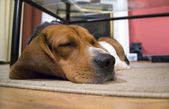 Sleepy Beagle Dog — Stock Photo