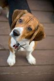 Curious Beagle — Stock Photo