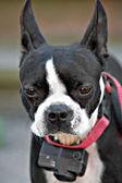 Curious Boston Terrier — Stock Photo