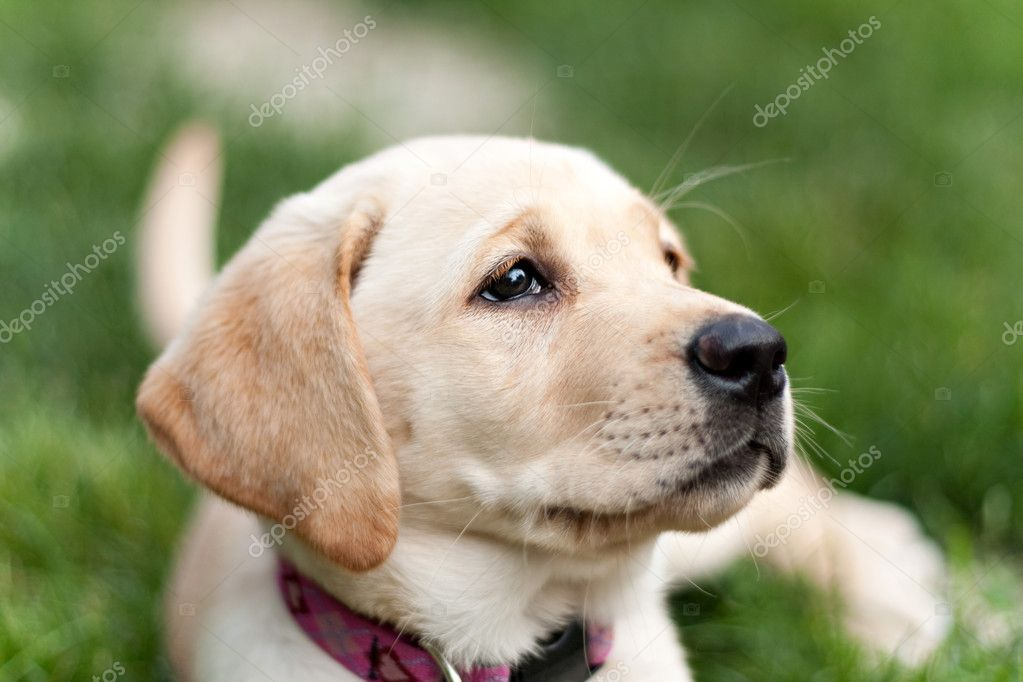 Labrador Puppies Cute Pics Cute Yellow Labrador Puppy