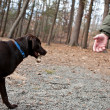 Chocolate Lab Retrieving a Stick - Stock Photo