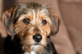Cucciolo di razza mista carino — Foto Stock