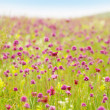 Nice and sweet summer meadow full of violet flowers - Stock Photo