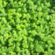Clover — Stock Photo #8282560