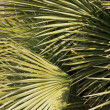 Green leaves of palm — Stock Photo