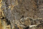 Griffon Vulture (Gyps fulvus) — Foto de Stock