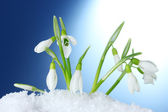 Beautiful snowdrops in snow on blue background — Stock Photo