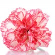 Two pink beautiful carnation isolated on white — Stock Photo #10197753