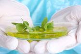 Genetically modified plant in Petri dish — 图库照片