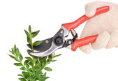 Trimming bush branch with pruner isolated on white — Stock Photo