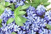 Muscari - hyacinth isolated on white — Stock Photo