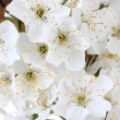 Beautiful cherry blossom close up — Stock Photo #10265684