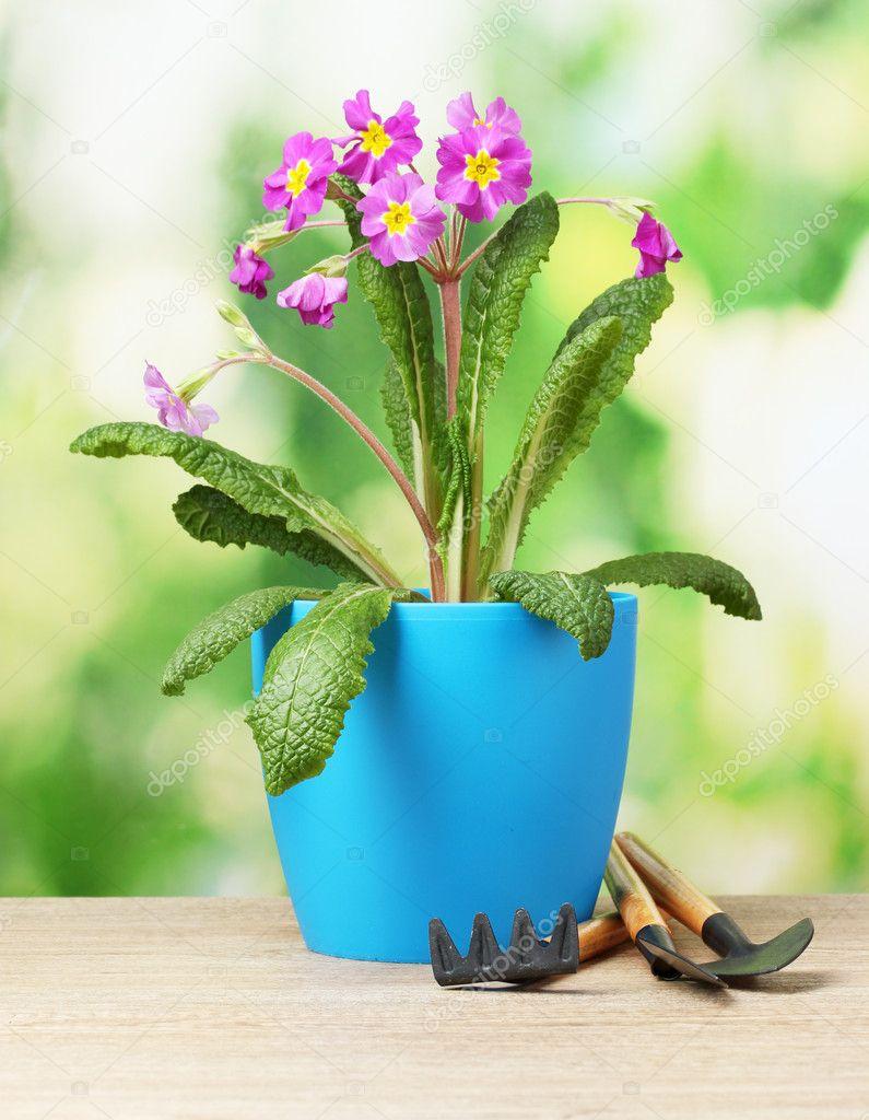 belle primev re violette dans un pot de fleurs et jardin des outils sur une table en bois sur. Black Bedroom Furniture Sets. Home Design Ideas