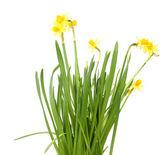 Schöne gelbe narzissen, die isoliert auf weiss — Stockfoto