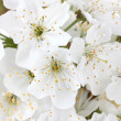 Beautiful cherry blossom close up — Stock Photo