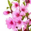 Beautiful pink peach blossom isolated on white — Stock Photo #10418678