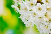 Hermoso flor de cerezo en fondo verde — Foto de Stock