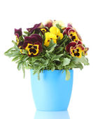 Beautiful violet pansies in flowerpot isolated on a white — Stock Photo