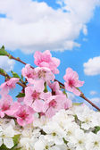 Beautiful pink and white blossom on blue sky background — Stock Photo
