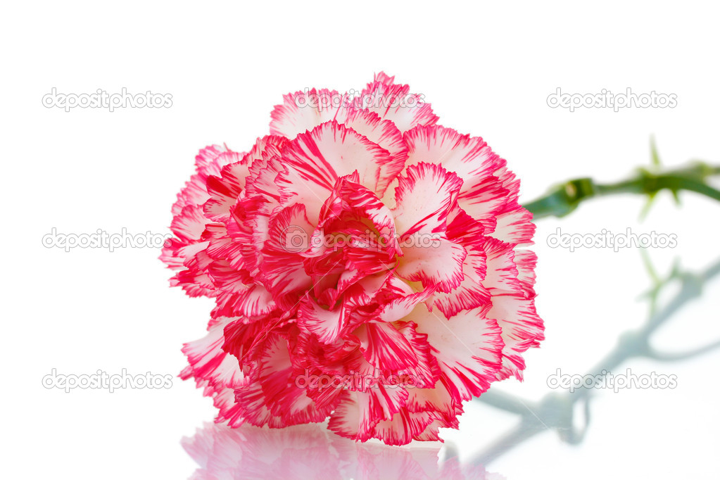 Two pink beautiful carnation isolated on white  Stock Photo #10430469