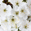 Beautiful cherry blossom close up — Stock Photo #10468186