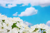 Beautiful cherry blossom on blue sky background — Stock Photo