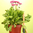 Pink flowers in pot with instruments on wooden table on green background — 图库照片