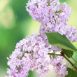 Beautiful lilac flowers on green background -  