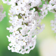 Branch of pink lilac on green background close-up — Stock Photo #10477437