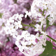 Bouquet of lilacs close-up — Stock Photo #10477451