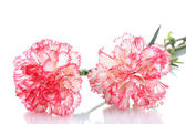 Two pink beautiful carnations isolated on white — Foto Stock