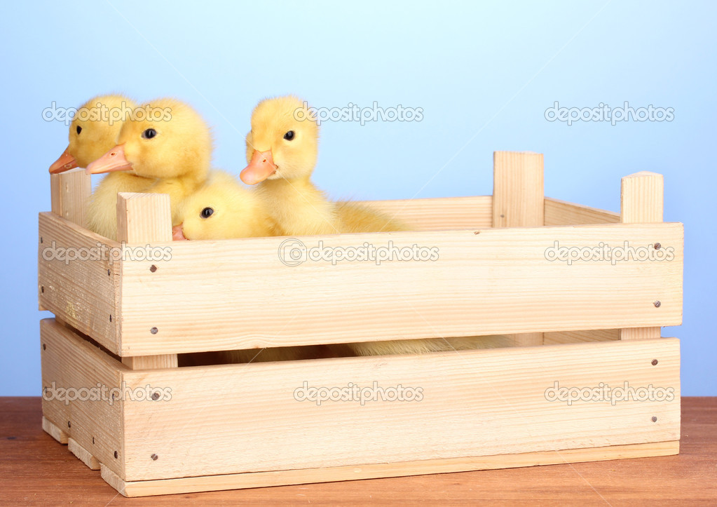 Duckling in crate on wooden table blue background