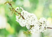 Beautiful cherry blossom on green background — Stock Photo