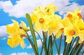 Mooie gele narcissen op blauwe hemelachtergrond — Stockfoto