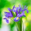 Beautiful bright irises on green background - Stock Photo