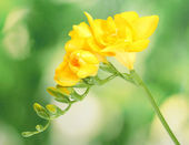 Beautiful yellow freesia on green background — Stock Photo