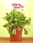 Papatya çiçekleri tencerede yeşil zemin üzerine ahşap tablo — Stok fotoğraf