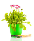 Daisy flowers in pot with instruments isolated on white — Stock Photo
