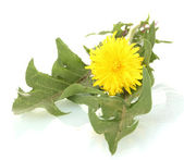 Dandelion flower and leaves isolated on white — Stock Photo