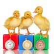 Stock Photo: Three duckling on championship podium isolated on white
