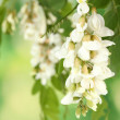 Branch of white acacia flowers on green background - Stock Photo
