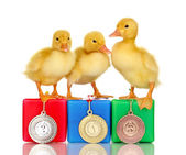 Three duckling on championship podium isolated on white — Stock Photo